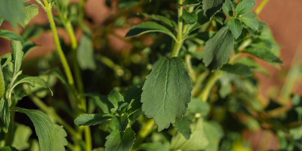 Γλάστρα με το φυτό στέβια