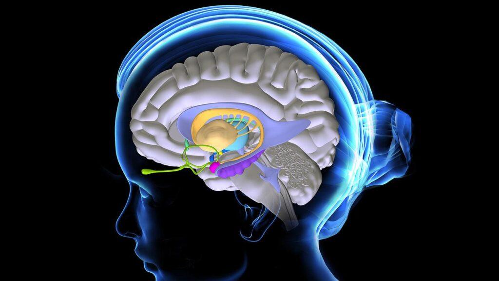 Ανθρώπινος εγκέφαλος και οιστρογόνα