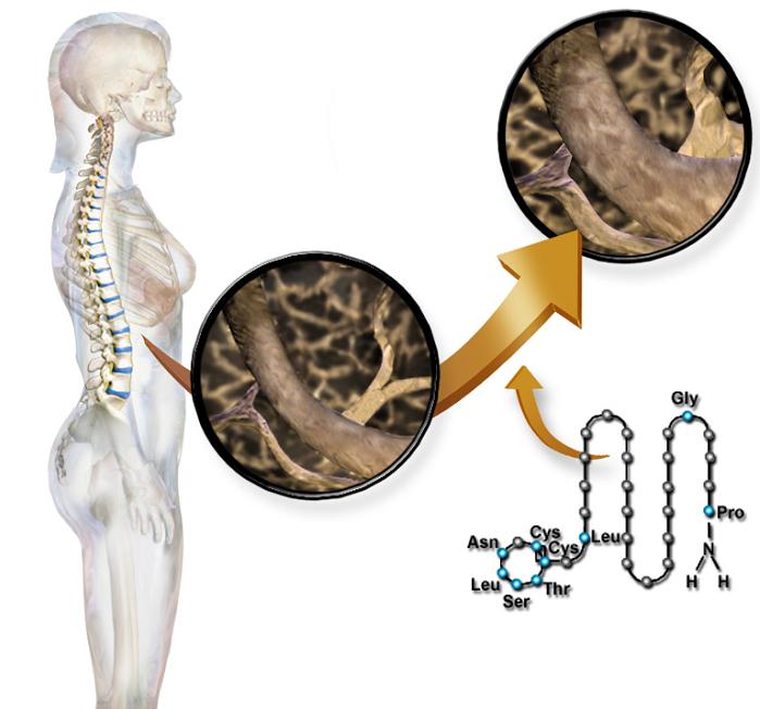 Επίδραση της Καλσιτονίνης στη σπονδυλική στήλη