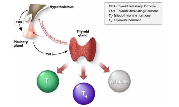 Οι ορμόνες του θυρεοειδή αδένα