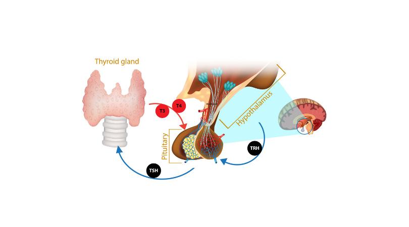 Σχηματική αναπαράσταση της θυρεοτροπίνης