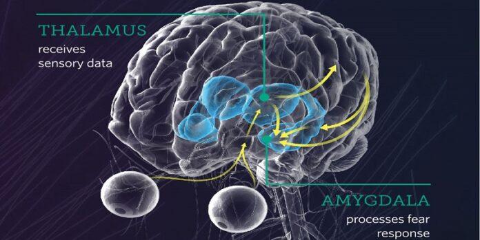 Ιατρικό μοντέλο με τις ορμόνες που προκαλούν φοβο